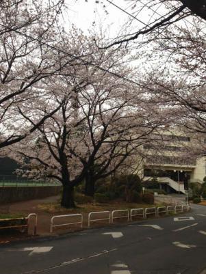 2013 城址公園の桜