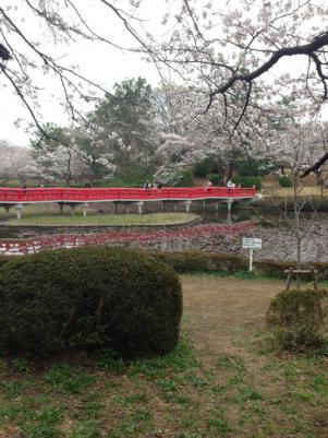 2013八橋と桜