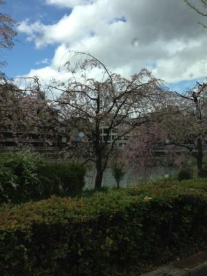 鴨川の桜1