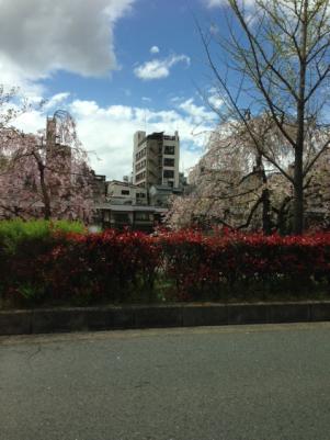 鴨川の桜2