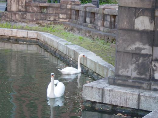 お堀の白鳥2