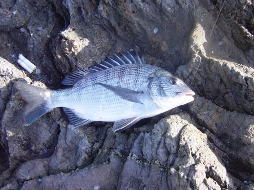 良く釣れるピヌ 9