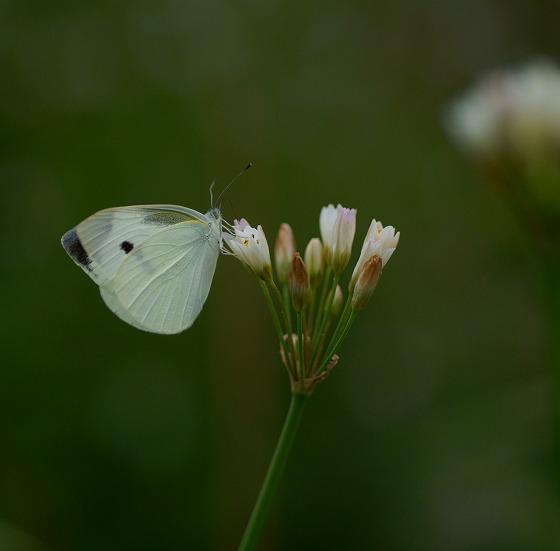 130603オーニソガラムと蝶
