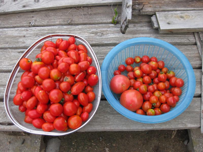 収穫トマト13_07_17