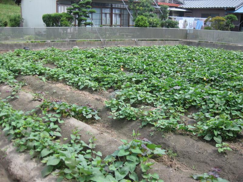サツマイモ畑13_07_19