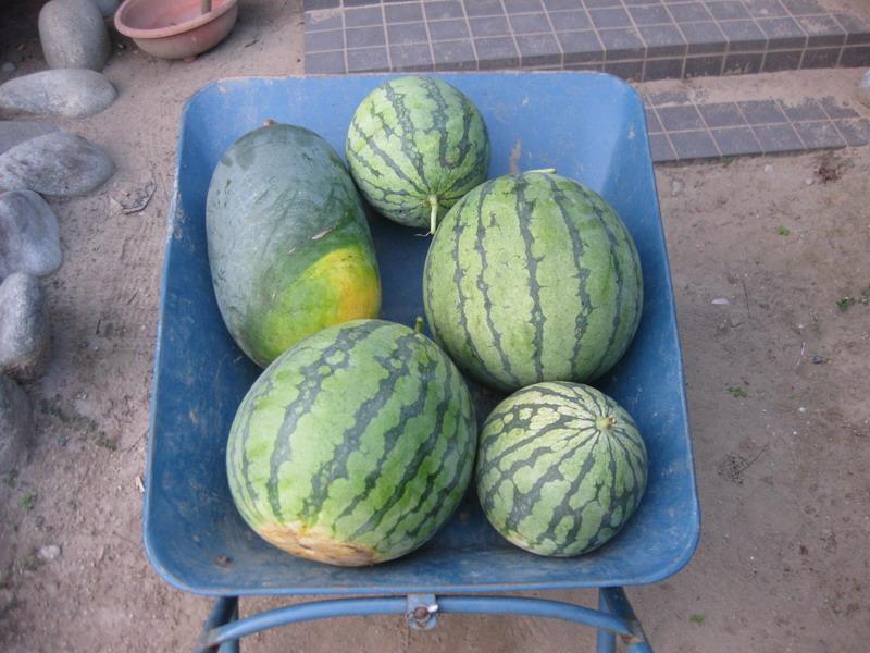 収穫スイカ1_13_08_04