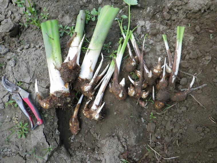 里芋収穫13_08_17
