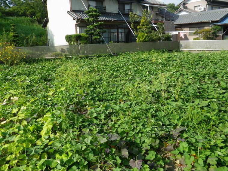 サツマイモ畑13_08_18