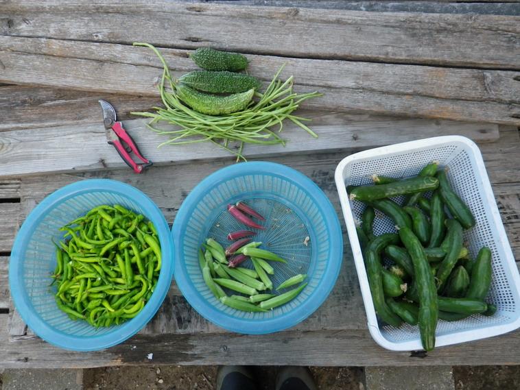 収穫13_08_20