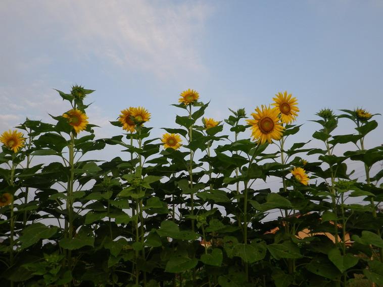 ヒマワリの花13_08_29