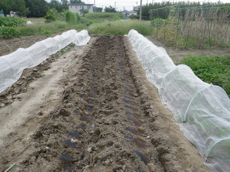 ジャガイモ植え付け2_13_09_07