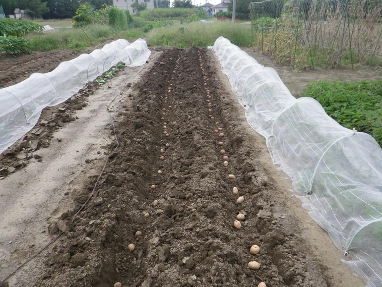 ジャガイモ植え付け1_13_09_07
