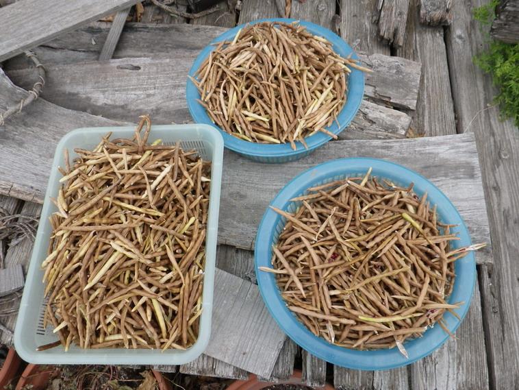 小豆収穫13_10_04