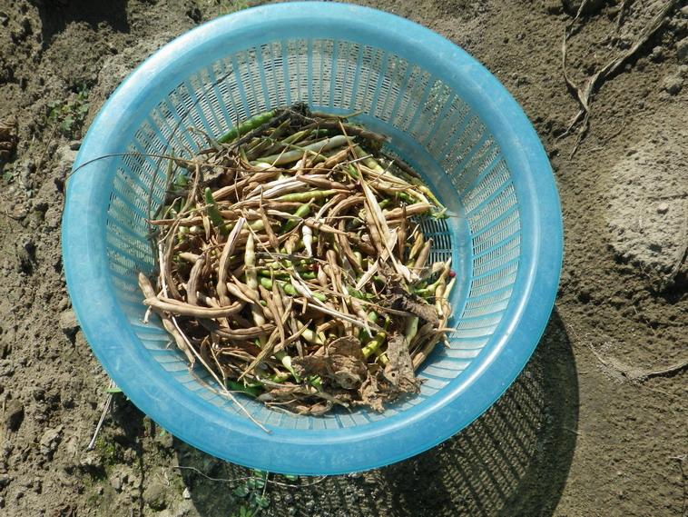 小豆収穫13_10_12