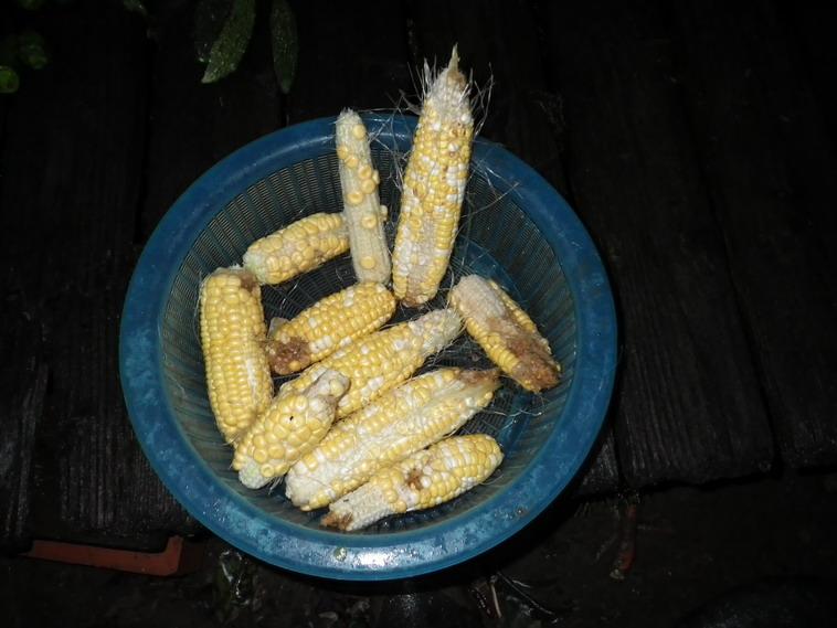 収穫4_13_10_20