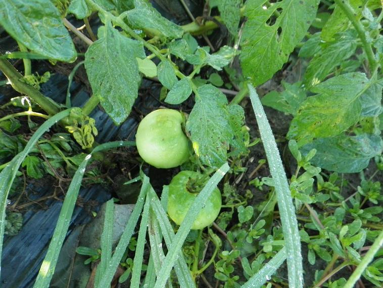 トマトの実13_10_21