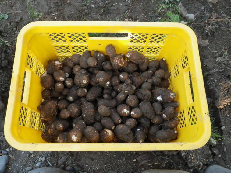 里芋収穫13_10_27