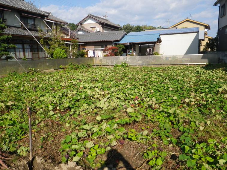 サツマイモ畑13_10_27