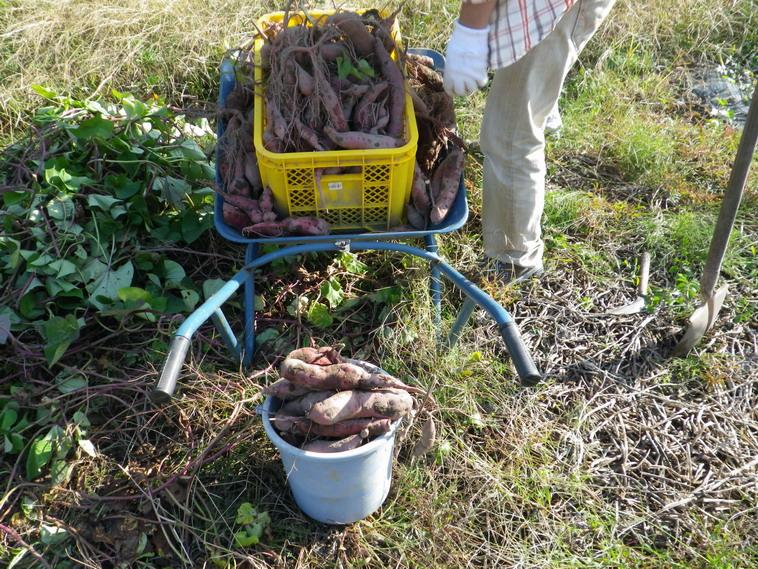 サツマイモ収穫13_10_27