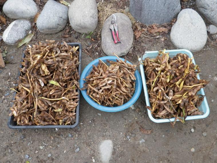黒豆収穫13_11_02
