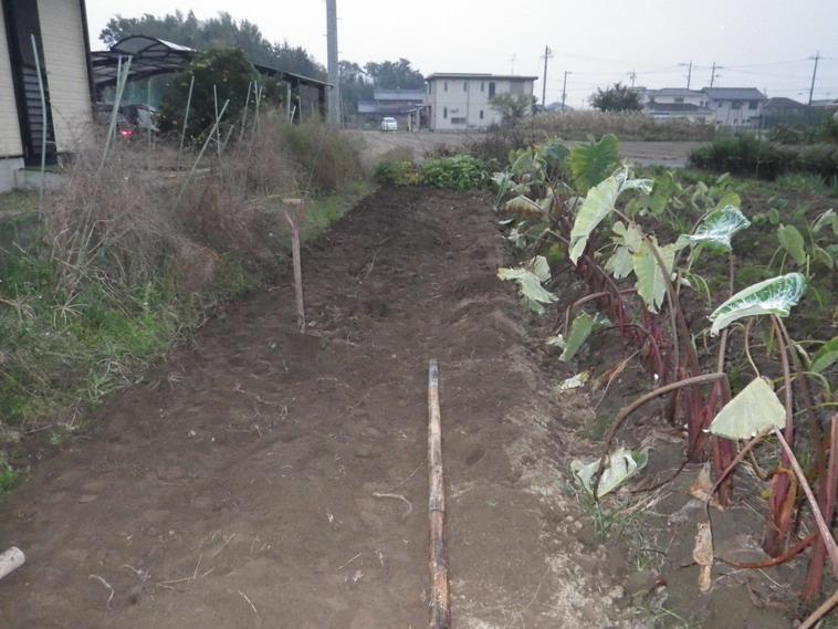 里芋収穫後13_11_03