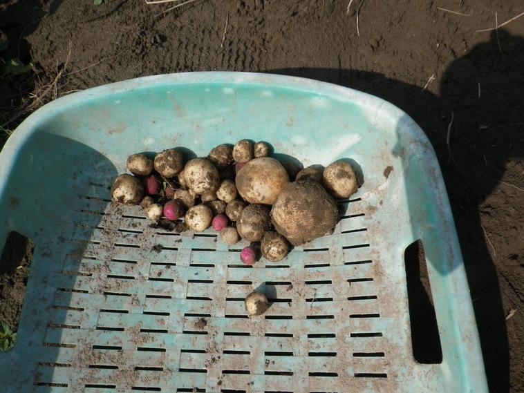 ジャガイモ収穫13_11_04
