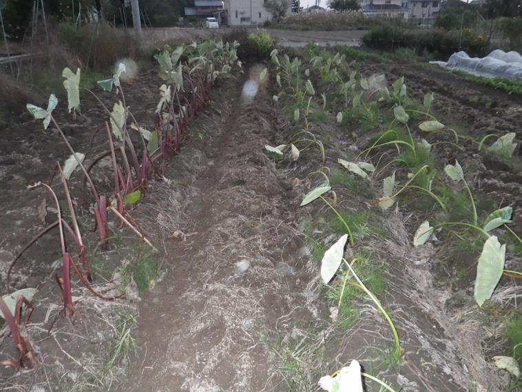 里芋収穫後13_11_04