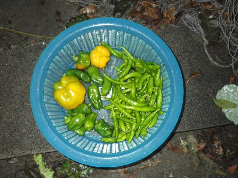 夕方の収穫13_11_10