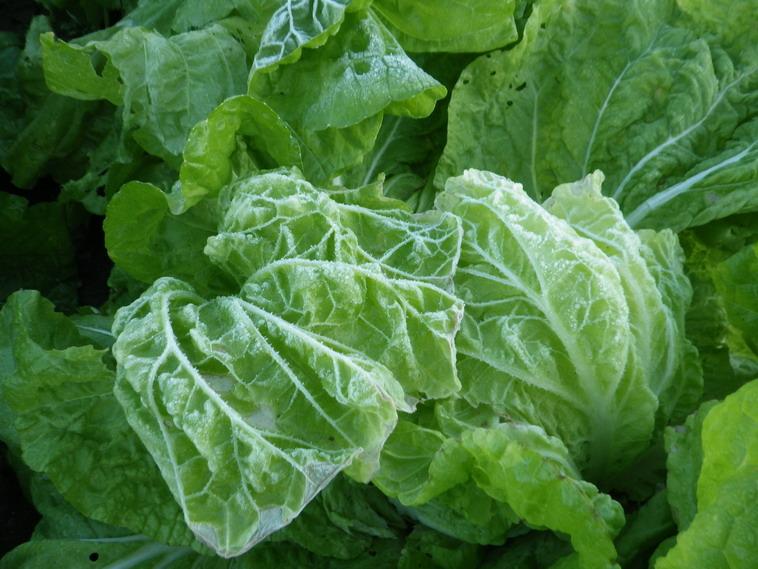 白菜13_11_13