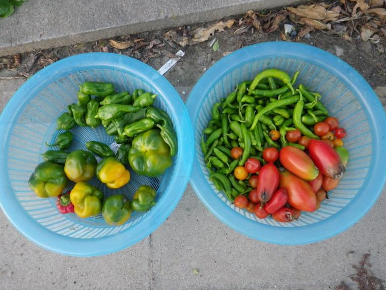 収穫夏野菜13_11_18