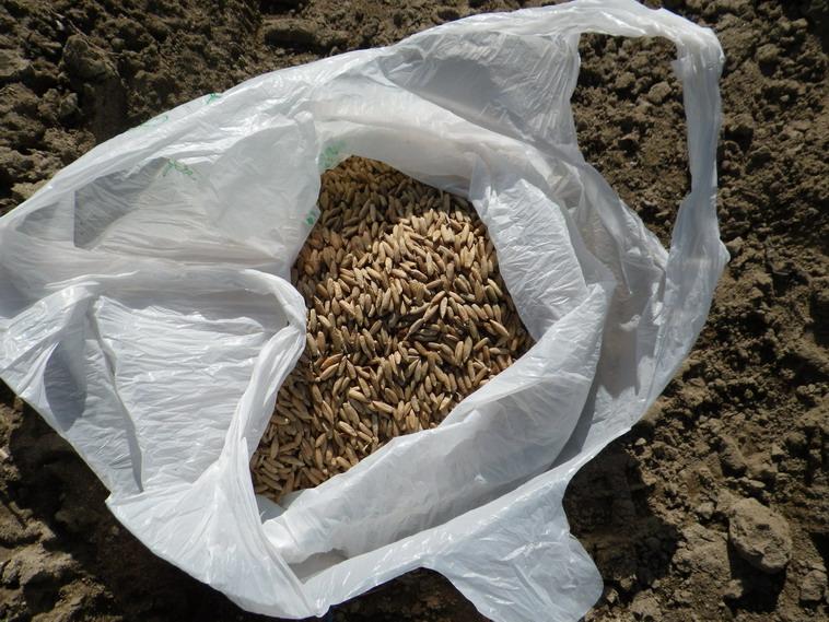 麦の種13_11_23