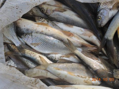 シロ川の釣果