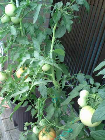 2013.7.12のトマト