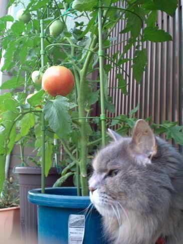 トマトと夢ちゃん