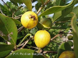 グアバの果実