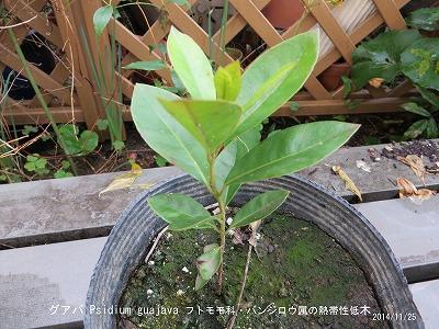 グアバの苗木