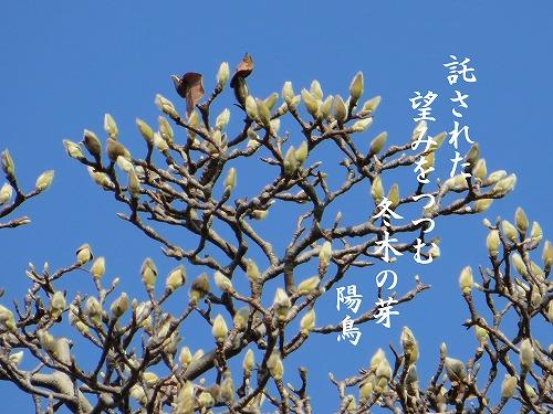 白木蓮の蕾