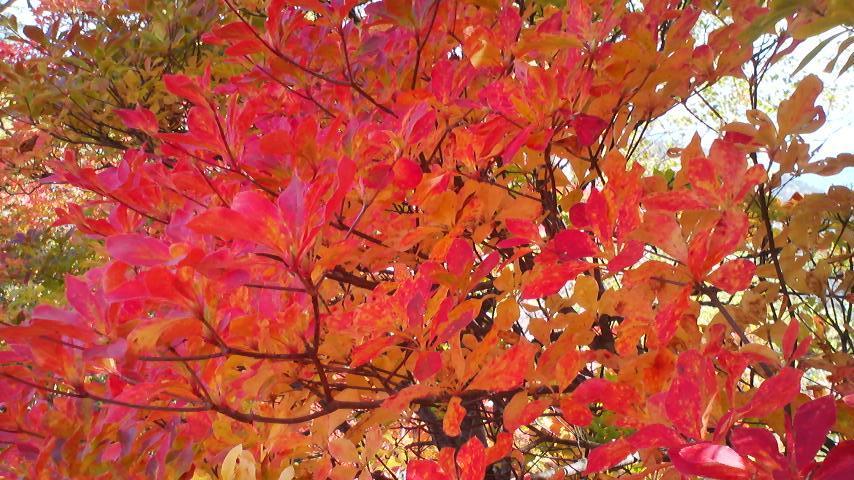 栂池自然園の紅葉