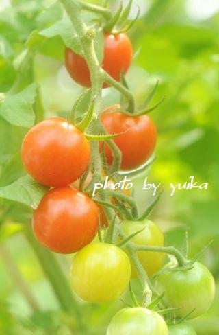 トマト725-3
