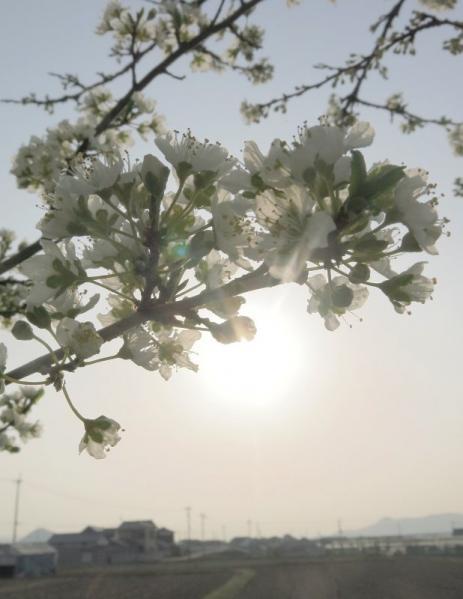 李の花02