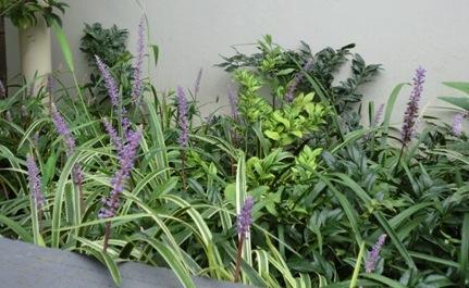 藪蘭の花1