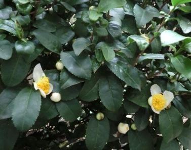 お茶の花1