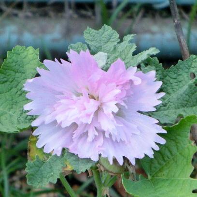 131101-公園の花-2