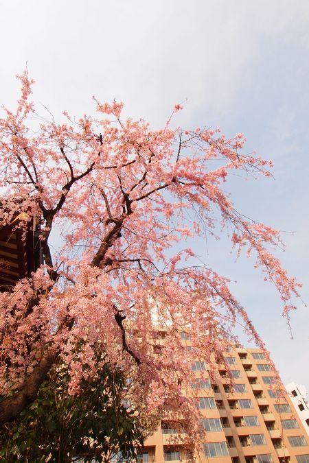 桜 (C)表参道・青山・原宿・外苑前・渋谷・東京都内・源保堂鍼灸院 伝統的なはりきゅう施術