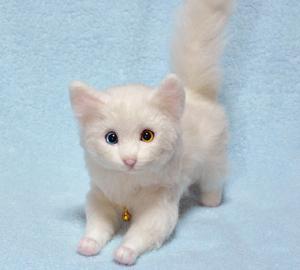オッドアイ白猫-1301001 031