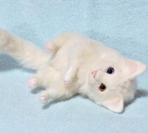オッドアイ白猫-1301001 040