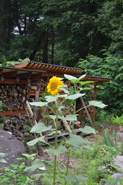 himawari 001