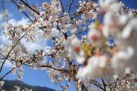 [撮影] ACCORD 昼桜