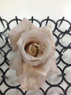 真っ赤なバラは白くはならないのです