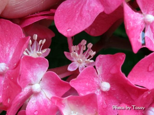 アジサイ 真の花
